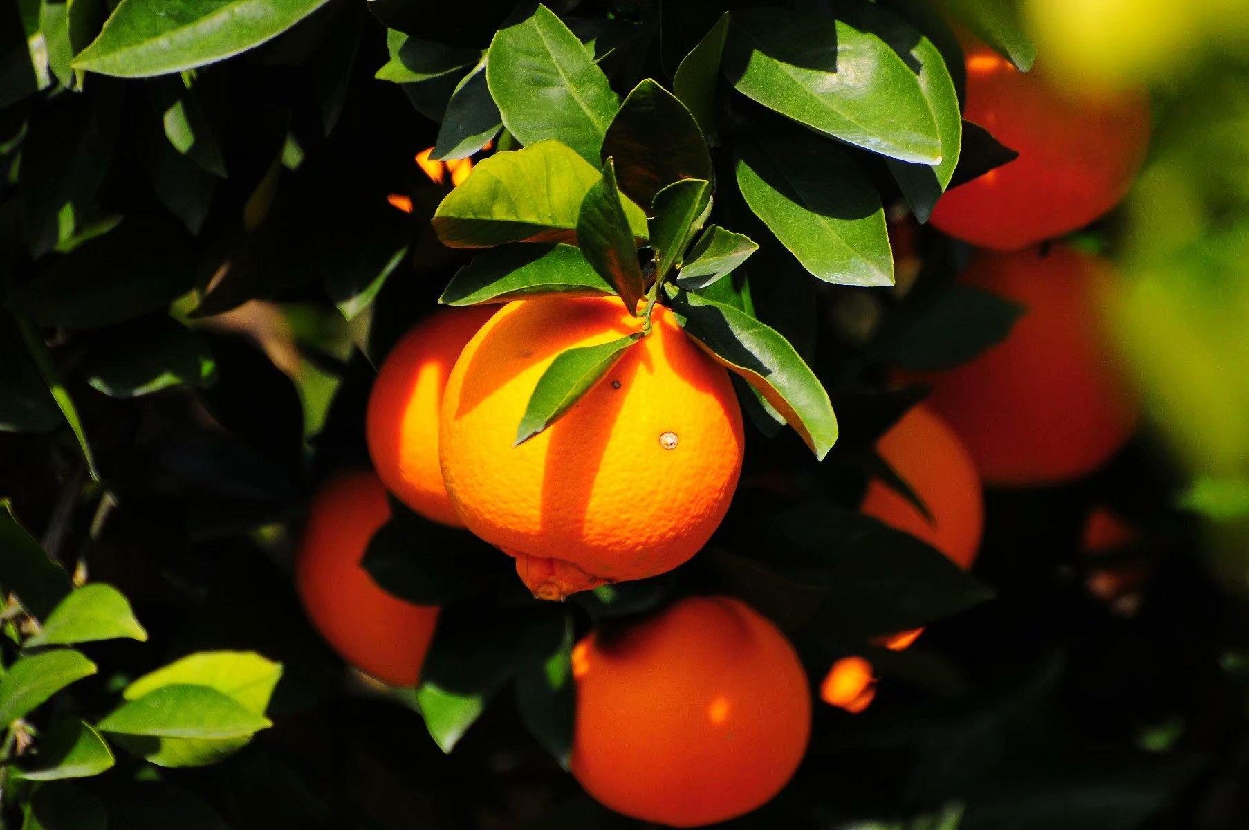 走!雅江麻雀坡打脐橙免费吃刨猪汤切!还有10斤包邮福利!