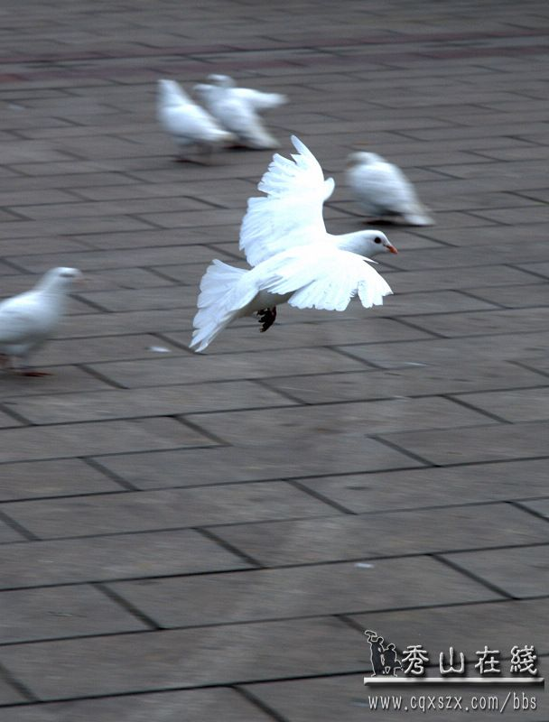 放星座巨蟹狮子座是最完美的鸽子图片